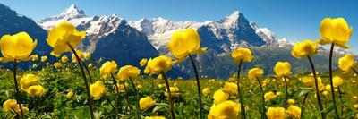Alpine Globeflower Meadows at 6000 Ft with the Eiger Behind. First, Grindelwald, Bernese Alps