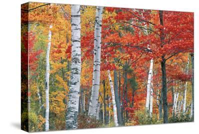 Sugar Maple, Acer Saccharum, and White Birch Trees, Betula Papyrifera, in Brilliant Autumn Hues