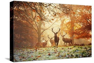 Four Red Deer, Cervus Elaphus, in the Forest in Autumn