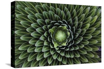 A Giant Lobelia Plant, Lobelia Telekii