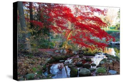 Japanese Maple with Colorful, Red Foliage at a Stream's Edge, New York