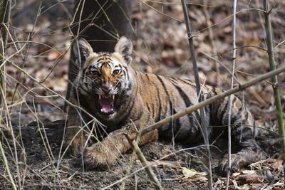 A Young Bengal Tiger Cub, Panthera Tigris Tigris, Snarling