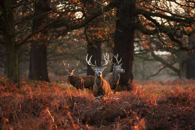Three Red Deer, Cervus Elaphus, Standing in London's Richmond Park