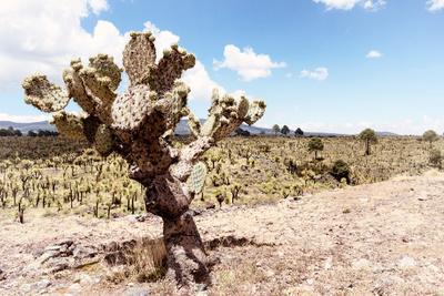¡Viva Mexico! Collection - Yellow Joshua Trees