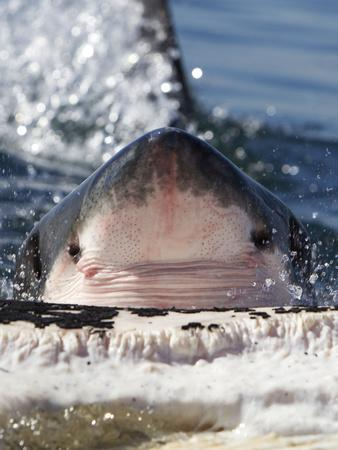 Great White Shark (Carcharodon Carcharias) Feeding On Brydes Whale Carcass (Balaenoptera Brydei)