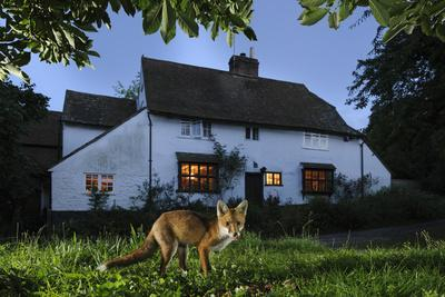 Red Fox (Vulpes Vulpes) Eating Pet Food Left Out For It In Suburban Garden At Twilight, Kent, UK