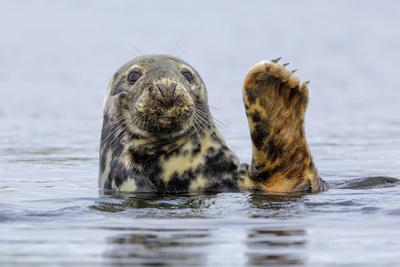 Grey Seal (Halichoerus Grypus) At Rest On Submerged Rock, Head And One Flipper Above Water