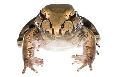 Savage'S Thin-Toed Frog (Leptodactylus Savagei) Isla Colon, Panama. Meetyourneighbours.Net Project