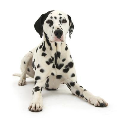 Dalmatian Dog, Jack, 5 Years, With One Black Ear, Lying With Head Up, Against White Background