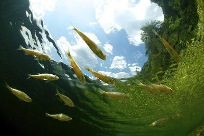School Of Young European Perch (Perca Fluviatilis) In Altausseer Lake, Austria, July