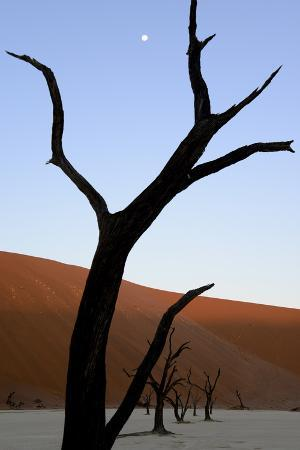 Dead Trees In Deadvlei Clay Pan, Sossusvlei. Namib-Naukluft National Park, Namibia, September 2013