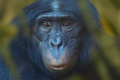 Bonobo (Pan Paniscus) Captive, Portrait, Occurs In The Congo Basin. Leaves Digitally Added
