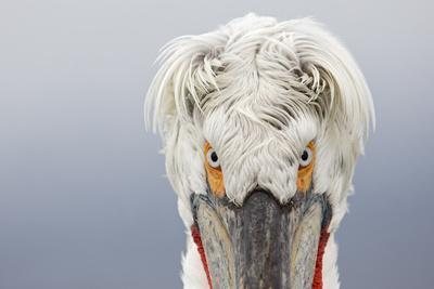 Dalmatian Pelican (Pelecanus Crispus) Portrait, Close-Up Of Eyes, Lake Kerkini, Greece. February