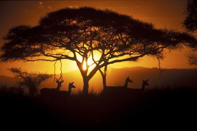 Herd Of Impala (Aepyceros Melampus) Silhouetted At Sunset, Ngorongoro Conservation Area, Tanzania