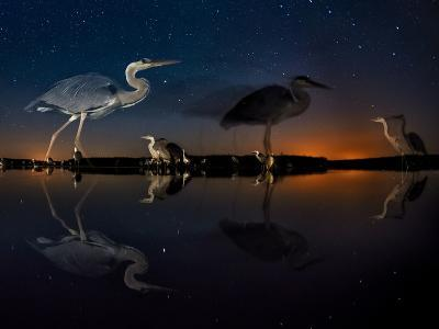 Herons At Night On Lake Csaj, Kiskunsag National Park, Hungary. Winner Of The Birds Category