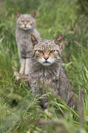 Scottish Wildcats (Felis Sylvestris), Captive, UK, June