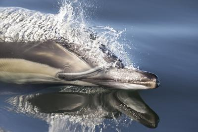 Long-Beaked Common Dolphin (Delphinus Capensis) Porpoising In Still Water, False Bay, South Africa