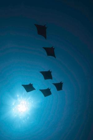 Devil Rays (Mobula Japonica) Viewed From Below, South Ari Atoll, Maldives
