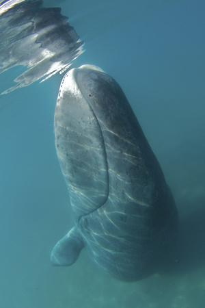 Bowhead Whale (Balaena Mysticetus) Rubbing Off Flaking Skin On The Ocean Bottom