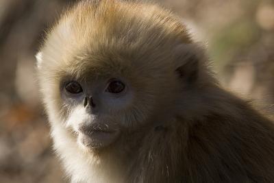 Sichuan Golden Snub Nosed Monkey (Rhinopithecus Roxellana) Zhouzhe Reserve