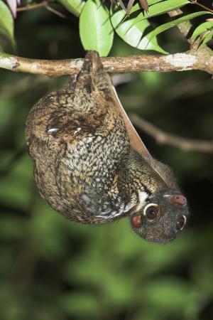 Malayan Colugo - Flying Lemur (Cynocephalus Variegatus) In Suspensory Resting Posture At Night