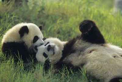 Giant Panda (Ailuropoda Melanoleuca) Mother And Young Playing, Captive, Sichuan, China. Non-Ex