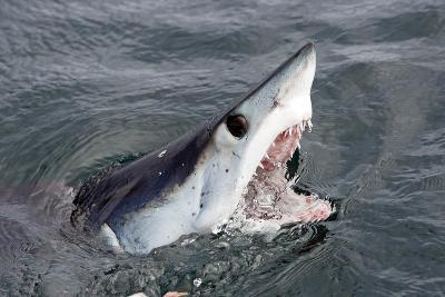 Mako Shark (Isurus Oxyrinchus) At Surface With Mouth Open, Cape Point, South Africa, March