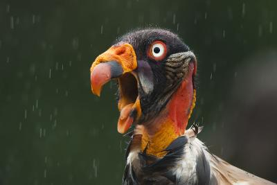 Head Portrait Of King Vulture (Sarcoramphus Papa) Calling In The Rain, Santa Rita, Costa Rica