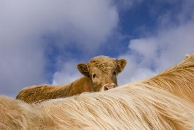 Highland Calf (Bos Taurus) Looking Over The Back Of Its Mother, Tiree, Scotland Uk. May 2006