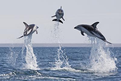 Dusky Dolphins (Lagenorhynchus Obscurus) Group Of Three Porpoising, Puerto Madryn, Peninsula Valdez