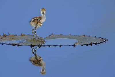 African Jacana (Actophilornis Africana) Chick, One Day, Standing On Leaf