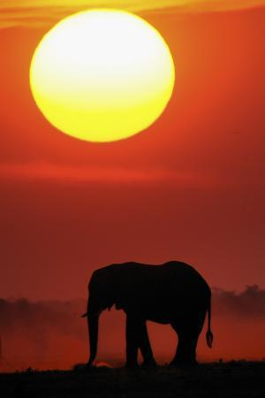 African Elephant (Loxodonta Africana) Silhouetted Against Orange Sky, Chobe River, Botswana