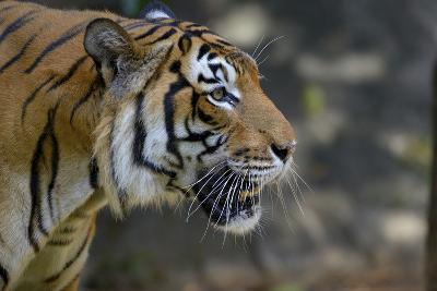 Malayan Tiger (Panthera Tigris Jacksoni), Malaysia