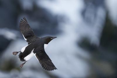 Brunnnich'S Guillemot (Uria Aalge) In Flight, Vardo, Norway, March