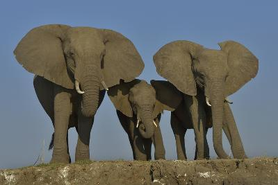 African Elephants (Loxodonta Africana) Cow With Her Two Calves, Chobe River, Botswana
