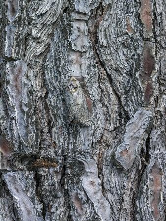 Goat Moth (Cossus Cossus) Camouflaged On Tree Trunk, Killini, Peloponnese, Greece, July