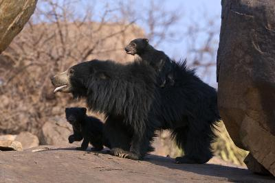 Sloth Bear (Melursus Ursinus) Mother And Cubs With One Riding On Her Back. Karnataka, India, March