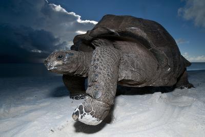 Aldabra Giant Tortoise (Geochelone Gigantea) On Beach At Dusk, Aldabra Atoll, Seychelles