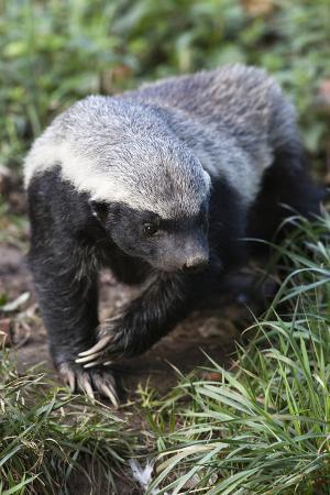 Honey Badger Or Ratel, Mellivora Capensis, Captive, Native To Africa