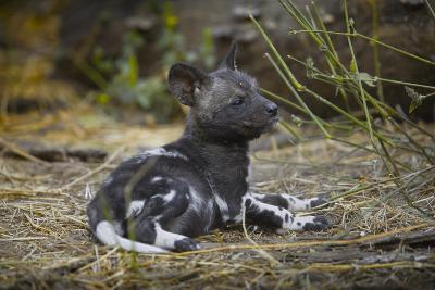 African Wild Dog (Lycaon Pictus) One Month Old Pup Resting At A Den Site