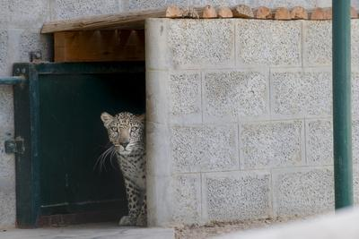 Male Arabian Leopard (Panthera Pardus Nimr) Looking Out At Its Enclosure