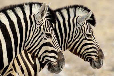 Burchell'S Zebras (Equus Quagga Burchellii) Standing Side By Side. Etosha Np, Namibia