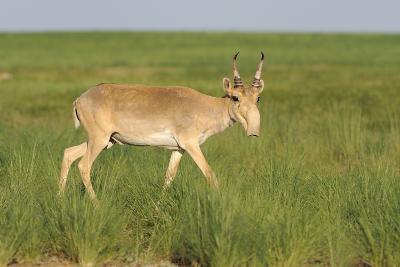 Male Saiga Antelope (Saiga Tatarica) In The Steppe Of Cherniye Zemly (Black Earth) Nature Reserve