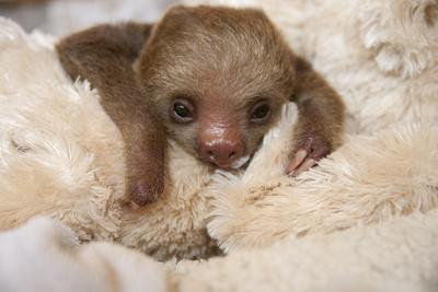 Hoffmann'S Two-Toed Sloth (Choloepus Hoffmanni) Orphaned Baby With Cuddly Toy