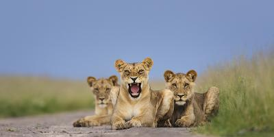 African Lion (Panthera Leo) Three Subadults Resting On The Road