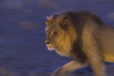Male African Lion (Panthera Leo) At Night, Kalahari Desert, Botswana