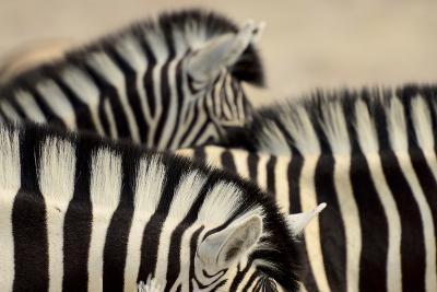 Burchell'S Zebras (Equus Quagga Burchellii) Close Ups Of The Manes, Etosha Np, Namibia
