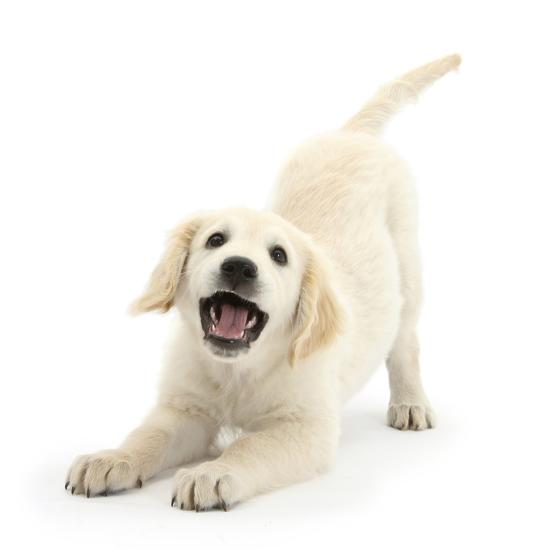 Golden Retriever Dog Pup Oscar 3 Months In Play Bow Against White Background