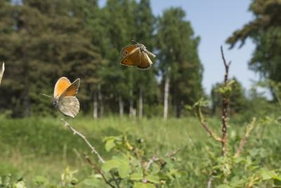 Small Heath (Coenonympha Pamphilus) Two Males Fighting In Habitat, Aland Islands, Finland, June