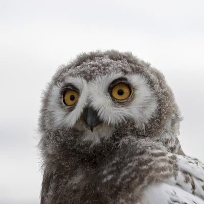 Snowy Owl (Bubo Scandiacus) Fledgling Portrait, Wrangel Island, Far Eastern Russia, August